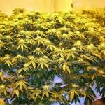 Ambrosia-Marijuana-Garden-150x150