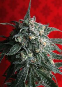 A-Train Marijuana