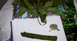 Marijuana-Cigar-e1289407757387